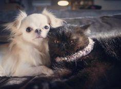 mikimikan  Maru and kintaro ここも?ハッピーウェディング?(笑) #dogslife#dogstagram#dogoftheday#dog#chihuahuastagram#chihuahuaoftheday#chihuahua#cutepet#petstagram#puppy#catstagram#catoftheday#catlover#cats#kitten#exoticshorthair#neco#わんこ#いぬ#犬#イヌ#チワワ#ねこ#猫#ネコ#エキゾチックショートヘア