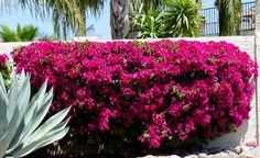 Bougainvillea makes a great privacy hedge and can also be trained up into a small tree. Surprisingly, this large, vining shrub does very well when grown in containers. Shown: Bougainvillea grown as a hedge