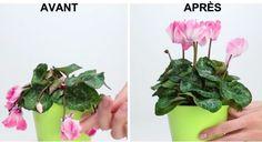 L'astuce pour sauver une plante en mauvais état noté 4.04 - 92 votes Vous avez acheté un joli bouquet, mais il n'a pas tenu longtemps? Pas d'inquiétude on vous a concocté une recette de grand-mère pour récupérer vos jolies fleurs avec pour seul outil un mixeur qui vous aidera à réaliser cette astuce ingénieuse. Les...