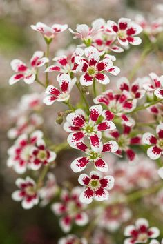 Saxifraga 'Southside Seedling' by Alan Buckingham All Flowers, Amazing Flowers, My Flower, Beautiful Flowers, White Flowers, Horticulture, Trees To Plant, Beautiful Gardens, Garden Plants