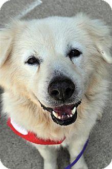Fairfax Station, VA - Great Pyrenees Mix. Meet Breezie, a dog for adoption. http://www.adoptapet.com/pet/15944362-fairfax-station-virginia-great-pyrenees-mix