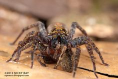 Eight of these legs belong to a wandering spider; the other eight belong to its prey. Photo: Nicky Bay