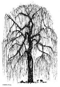 Schattenriss von Salix alba 'Tristis'