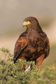 31 Best Harris Hawk Images Harris Hawk Hawks Birds