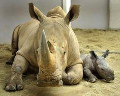 Disney World: New Baby Rhino