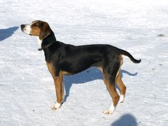 A degenerative brain disease causes uncontrolled movement in Finnish hound puppies. Hound Dog Breeds, Dog Breeds List, Hound Puppies, Cat Breeds, Dog Breeders, Basset Artesien Normand, Griffon Nivernais, Grand Basset Griffon Vendeen, Dog Breeds