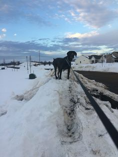 Queen of the hill - GSP Mia