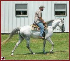 FOR SALE - MONA LISA McCURDY #2040114 - Beautiful 15 hand, grey Tennessee Walking Horse mare. She is well-bred with 'Iron Works', Delight Bumin Around, Ebony Masterpiece, Sun's Delight D., Mack K's Handshaker and Midnight Sun on her pedigree. She is double registered with both TWHBEA and McCurdy Plantation Horse Registry. She is easy to ride and has been trail ridden a lot. Foaled 2004. Located in Texas. Priced at $3200.  VIDEO ...