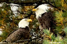 love seeing the 3 nesting pairs of bald eagles around town!