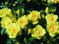 Flower Carpet Yellow cluster by tesselaarusa, via Flickr