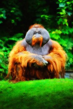 I absolutely love Orangutans and this fellow is absolutely magnificent!! Wow!