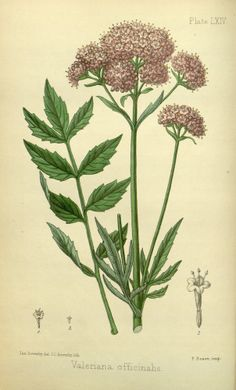 Valerian - Sedative properties found in roots - Exceptionally fragrant white or pink flowers are excellent for cutting - Grows 3-4 feet tall. Winter hardy to zone 4 - circa 1853