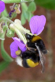 British Bumblebees