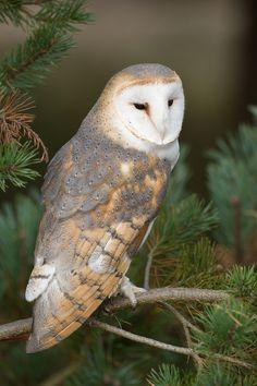 Barn Owl, by Clifton Beard Beautiful Owl, Animals Beautiful, Cute Animals, Owl Photos, Owl Pictures, Owl Bird, Pet Birds, Tyto Alba, Owl Wings