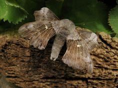 Poplar Hawk Moth..... 03.06.15