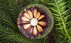 Fruto do pinhão