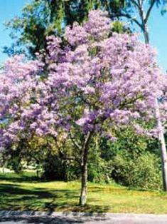 Paulownia tomentosa / Blauglockenbaum / Paulownie