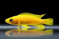 Lemon Cichlid Neolamprologus leleupi