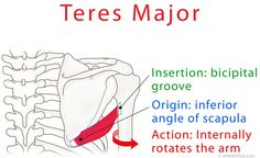 Teres major is a shoulder muscle that internally rotates the arm. A muscle tear often occurs in sports, like golf, tennis, swimming, throwing and water skiing. Muscle Anatomy, Body Anatomy, Acupuncture, Muscular System Anatomy, Shoulder Anatomy, Musculoskeletal System, Medical Anatomy, Human Anatomy And Physiology, Shoulder Muscles