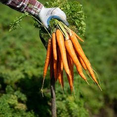 Freshly picked carrots are passing their quality check with one flying color: bright, beautiful orange. Soon enough, they'll be ready for you to pick, too—at your local grocery store.