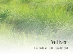 Vetiver is the most grounded essential oil I know. It's distilled from the rootlets of the grassy plant, so the oil is deeply connected to the earth. Essential Oil Distiller, Vetiver Essential Oil, Essential Oil Uses, Diffuser Recipes, Doterra Oils, Natural Cleaning Products, Medical Advice, Diy Beauty, Aromatherapy