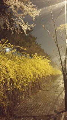 밤, 벚꽃, 개나리 그리고 봄비