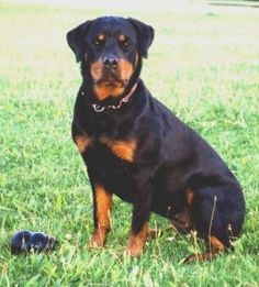 What a beauty! Dog Best Friend, Best Friends, Rottweiler Pictures, Bow Wow, Dog Bows, Dogs, Animals, Beauty, Beat Friends