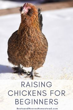 Getting started with chickens for beginners. A great beginners guide to raising chickens on the homestead or small farm. Raise your own backyard chickens with these great tips and resources. #backyardchickens #raisingchickens #chickens #forbeginners Ducks Vs Chickens, Chickens Backyard, Best Chicken Coop, Chicken Feed, Chicken Coops, Keeping Chickens, Raising Chickens, Chickens In The Winter, Raising Ducks