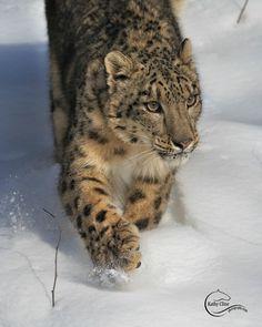 UP CLOSE Snow Leopard - Photograph at BetterPhoto.com