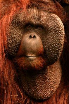 "orangutan ""Don't hate me because I'm beautiful!"" ✿⊱╮"