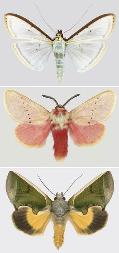 [][][] The moth images of Joseph Scheer. Top: Choristostigma plumbosignalis; Middle: Trosia obsolescens;  Bottom: Gonodonta species. Find more images at: http://rubybeets.com/art-photography/butterfly/joseph-scheer.shtml