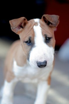 Brown bull terrier puppy))) #Bull #Terrier #Dog #Dogs #Terriers #Animals #Pet #Pets #Puppy #Puppies #Funny #Cute