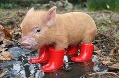 This little piggy LOVES wellies...<3 #cute #pig #in #wellies
