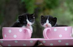 Kittens  (Tuxedo Teacups!)