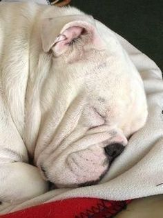 The major breeds of bulldogs are English bulldog, American bulldog, and French bulldog. The bulldog has a broad shoulder which matches with the head. Puppy Obedience Training, Dog Training Tips, Cute Puppies, Cute Dogs, Corgi Puppies, English Bulldog Puppies, English Bulldogs, French Bulldogs, Cute Bulldogs