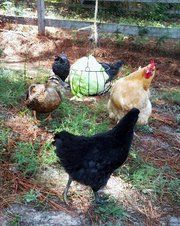 Such fun ideas for adding entertainment and good nutrition for your hens!