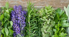 Tui Garden | Summer Herb Growing Guide