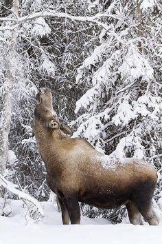 Moose Feeding In Winter