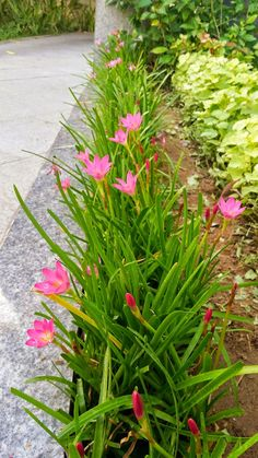 zephyranthes rosea, rain lily