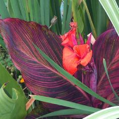 Variegated Red Tropical Water Canna has deep burgendy, cool green, and magenta stiped leaves accompanied by radiant orange flowers. This plant grows excessively in the hot Summer months, and relatively well in dry ground also. Maximum height is 3-4 feet.