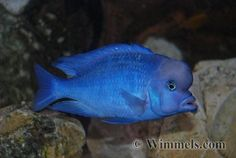 "Cyrtocara Moorii ""Blue Dolphin"" - possible future fish Cichlid Aquarium, Big Aquarium, Tropical Aquarium, Tropical Fish, Malawi Cichlids, African Cichlids, South American Cichlids, Pet Fish, Fish Fish"