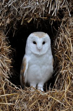 The Barn Owl seems to be enjoying the country living. Photo by Ape Art via redbu. by Owl Barn Beautiful Owl, Animals Beautiful, Cute Animals, Hello Gorgeous, Photo Animaliere, Owl Pictures, Owl Photos, Wise Owl, Owl Bird