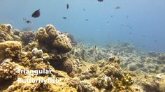 Video Triangular Butterflyfish | Pata Negra Dive Center Bohol Philippines, Diving, Islands, Beach, Poster, Art, Art Background, Scuba Diving, The Beach