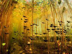 Photograph by Eiko Jones, My Shot  Tadpoles swim through a jungle of lily stalks in Cedar Lake on Vancouver Island, Canada.