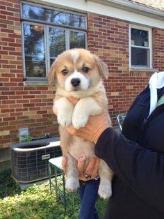 See more http://cutepuppyanddog.blogspot.com/ Pembroke Welsh Corgi Puppies in Dayton, Ohio - Hoobly Classifieds