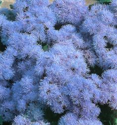 Ageratum Houstonianum. The Blue Floss Flower