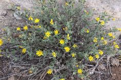 Heterotheca villosa. Hairy false goldenaster.  Northern AZ native herbaceous perennial. Very easy once established. Long bloom periods. Attractive. Great for pollinators. Part shade. Moderate grower.