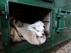 AGA ... warming a newborn lamb!