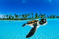 A baby green sea turtle paddling toward the open sea off the Nengonengo Atoll. French Polynesia. #scuba #underwater