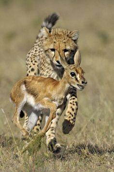 Cheetah, fast food.